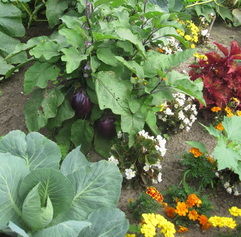 Association De Legumes Au Jardin Potager Un Potager En