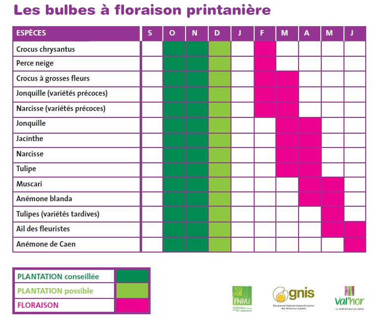 Beautiful comment planter de l ail 7 calendrier plantation bulbes a fleurs floraison printemps - Comment planter l ail ...