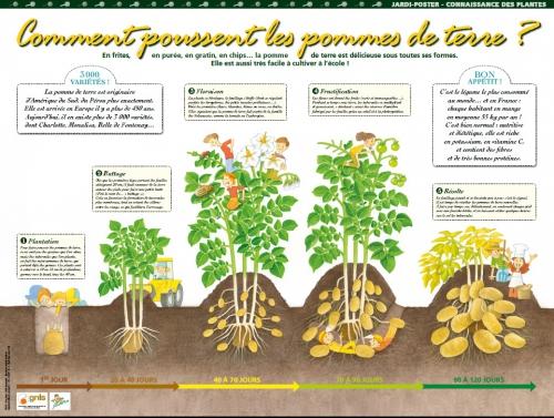 Connaisance des plantes - Comment conserver les pommes de terre ...